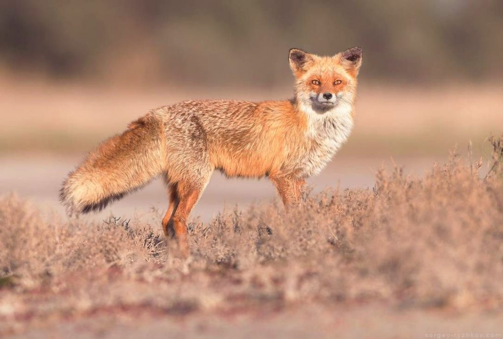 Кормление диких животных в лесопарках: что нам нужно знать: Кипрская рыжая лиса - самое крупное хищное животное на Кипре